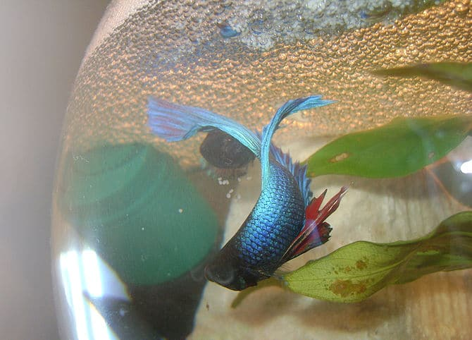 Betta fish facts betta fish care a betta fish must read for Betta fish habitat