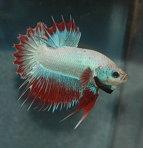 How do betta fish live 28 images how long do betta for How long can a betta fish live