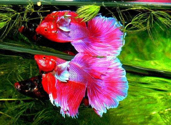 Finding the best betta fish food for your betta fish for How long do betta fish live