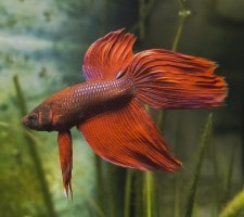 Common Betta Fish Diseases