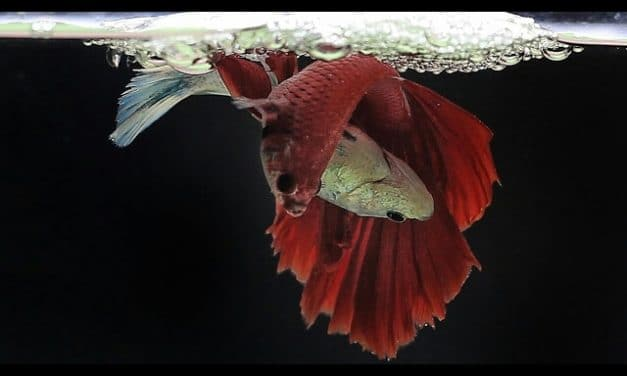 Betta Fish Life Cycle In 3 Minutes