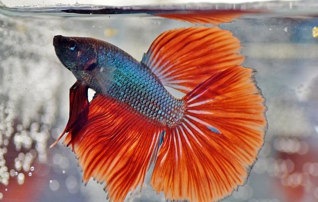 choose betta fish