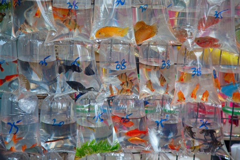 How To Choose A Betta Fish