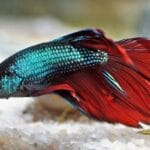 betta fish fin rot